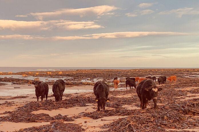 Vault Cows on a Beach album artwork
